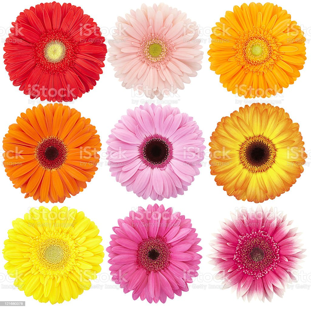 Gerbera daisy isolated collection royalty-free stock photo