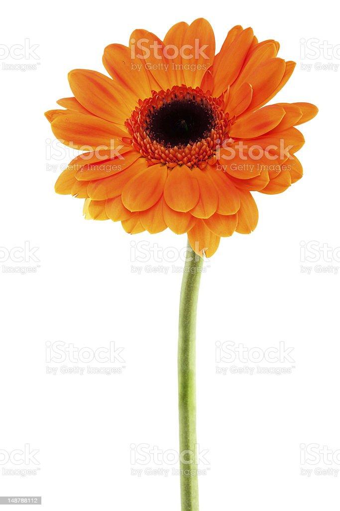 Gerbera Daisy orange royalty-free stock photo