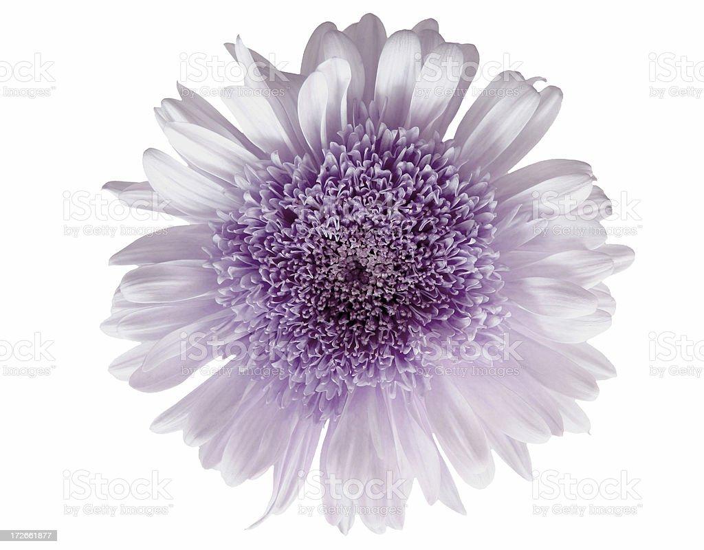 Gerbera Daisy (lilac). royalty-free stock photo