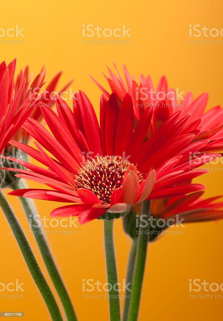 Gerbera Daisy - Red stock photo
