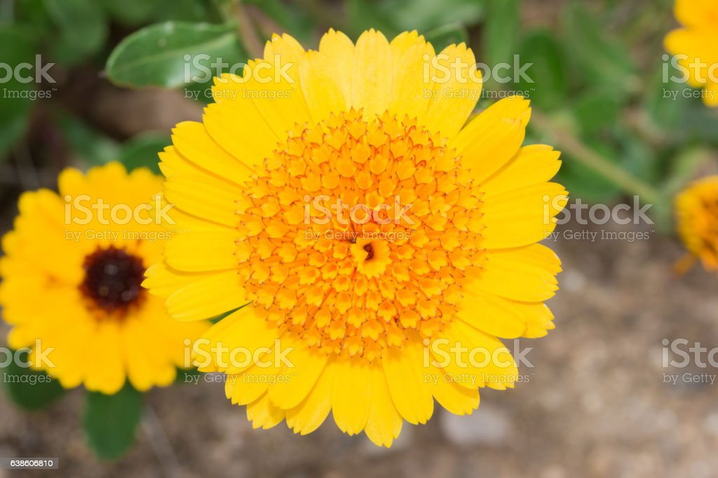 Gerbera Daisy yellow flower in flower garden stock photo