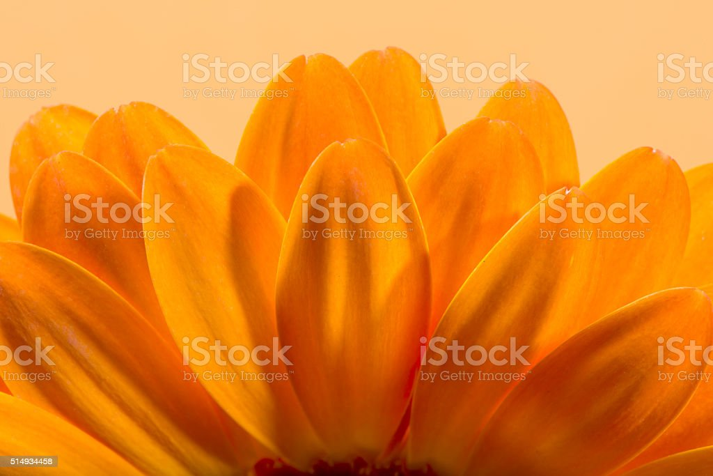 Gerbera flower blossom. stock photo