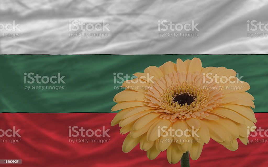 gerbera flower in front  national flag of bulgaria stock photo