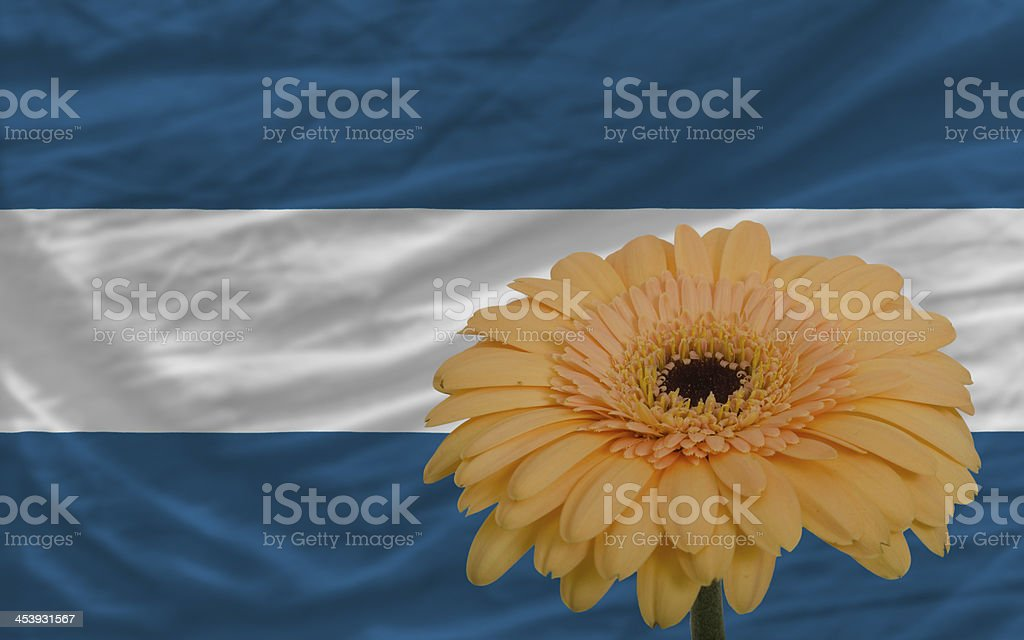 gerbera flower in front  national flag of el salvador stock photo