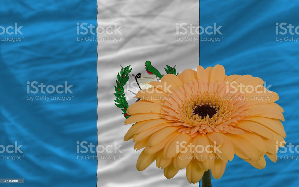 gerbera flower in front  national flag of guatemala stock photo