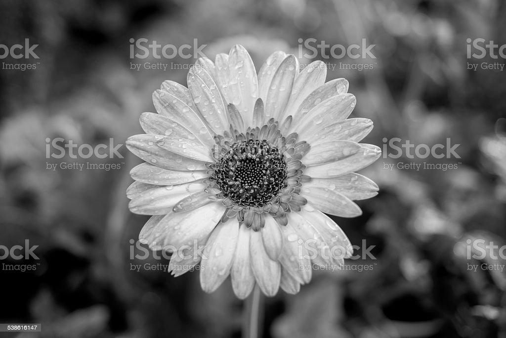 Gerbera flower in Tao Dan park stock photo