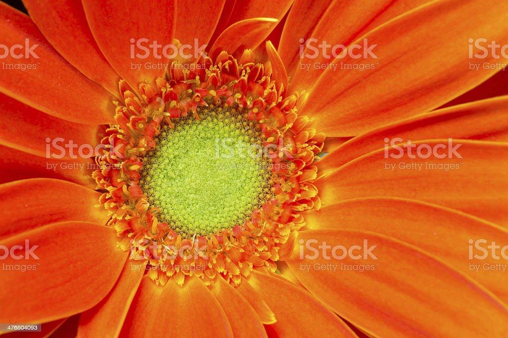 Gerbera Flower Orange Yellow Petals Green Carpels Close up royalty-free stock photo