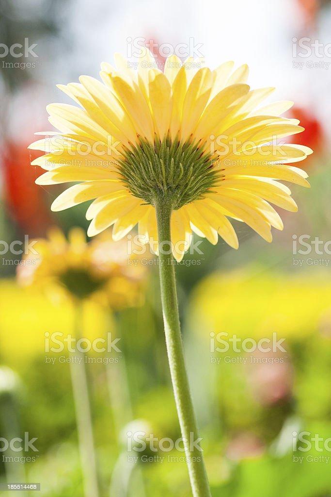gerbera flower royalty-free stock photo