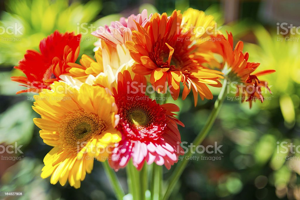 Gerbera flowers against green natural background royalty-free stock photo