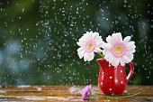 Gerbera flowers in jug under the rain