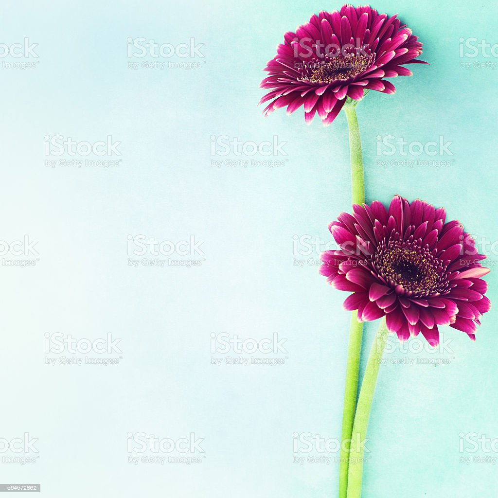 Gerbera flowers on blue background stock photo