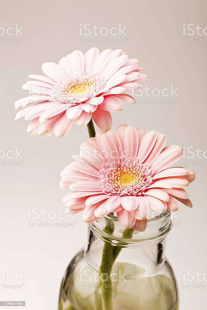 Gerbera flowers royalty-free stock photo