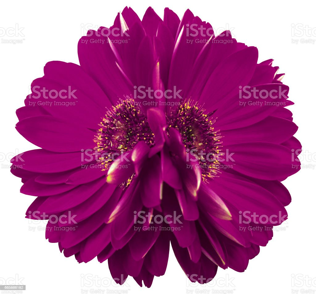 gerbera  flowers   violet.  Closeup.  beautiful  two  flower.  white background.  Nature. stock photo