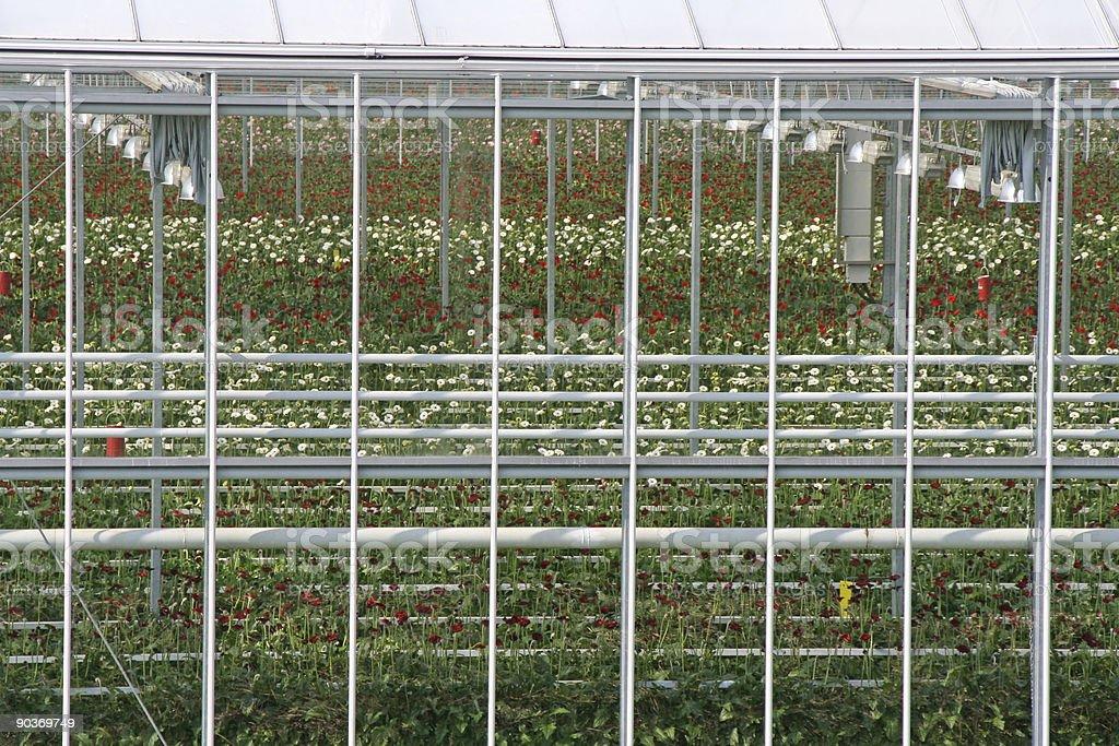 Gerbera greenhouse # 2 stock photo