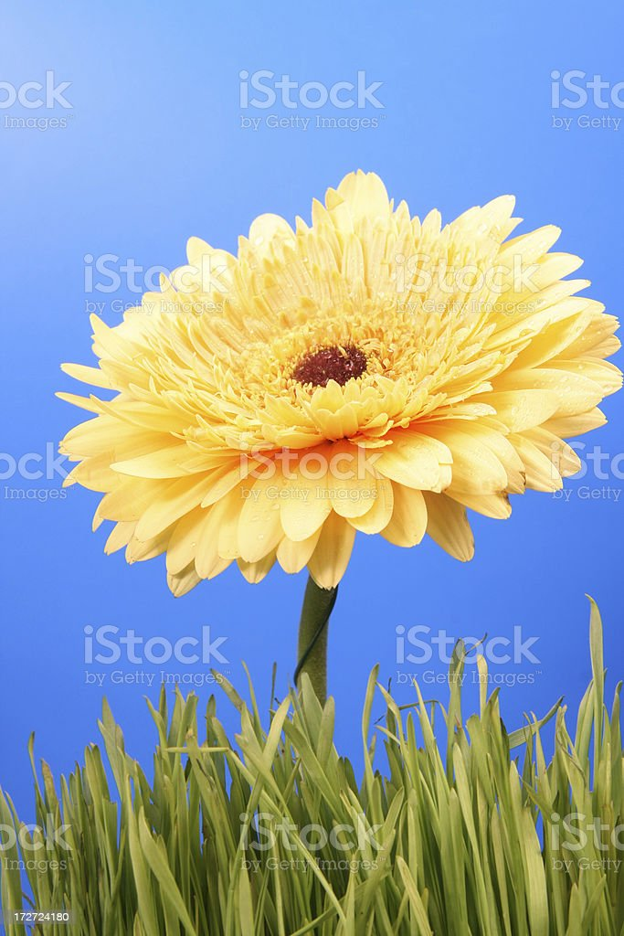 Gerbera in grass royalty-free stock photo