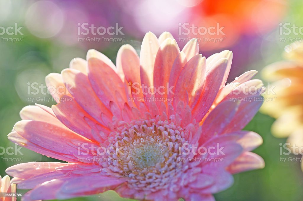 Gerbera in the counter-light stock photo