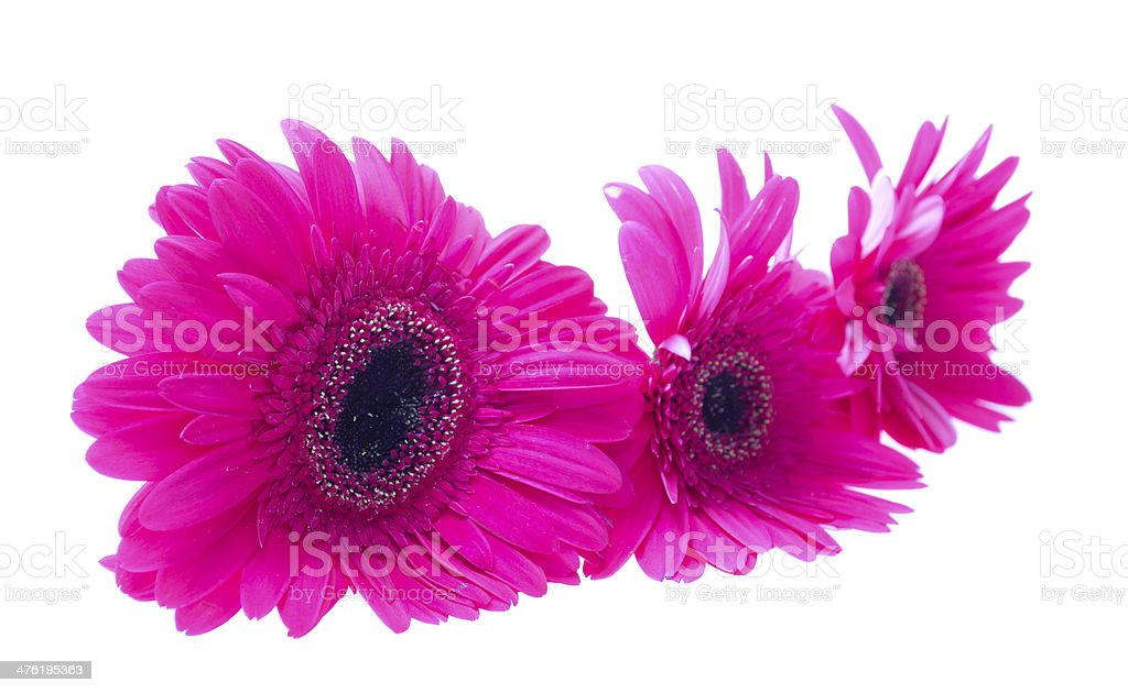 Gerbera isolated on white background stock photo