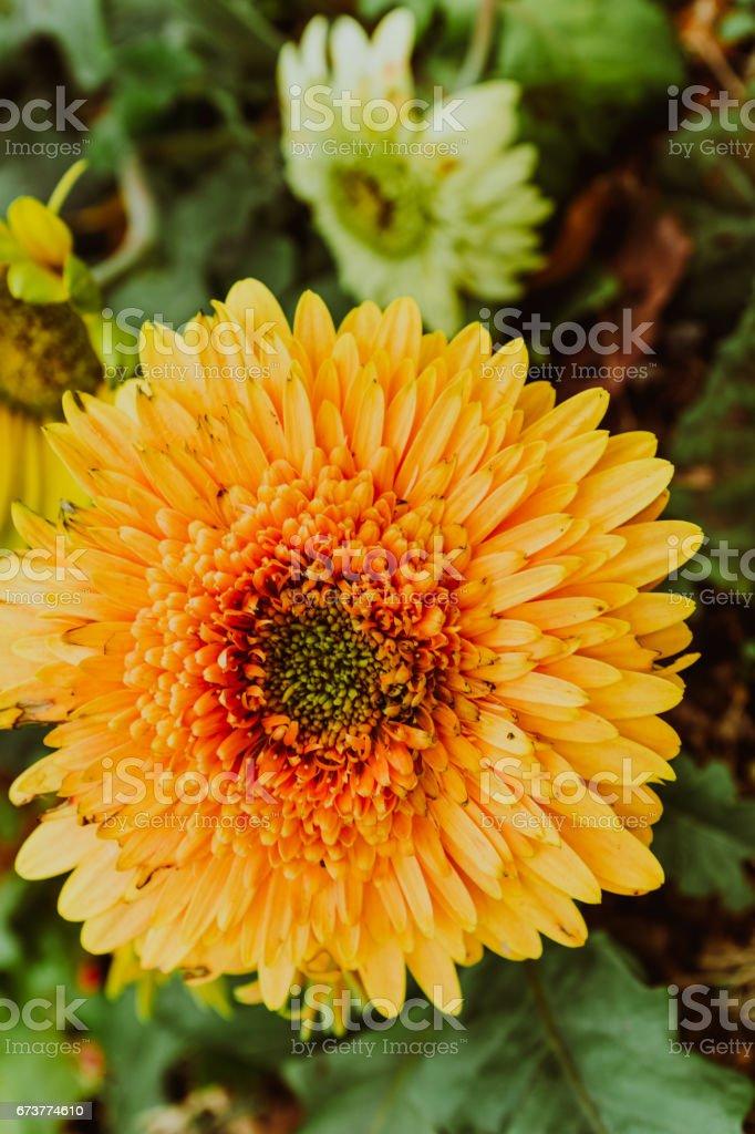 gerbera jamesonii daisy flowers stock photo