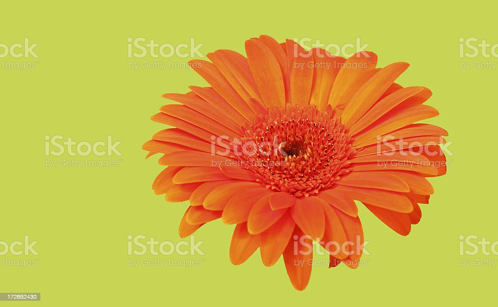 Gerbera on Green royalty-free stock photo