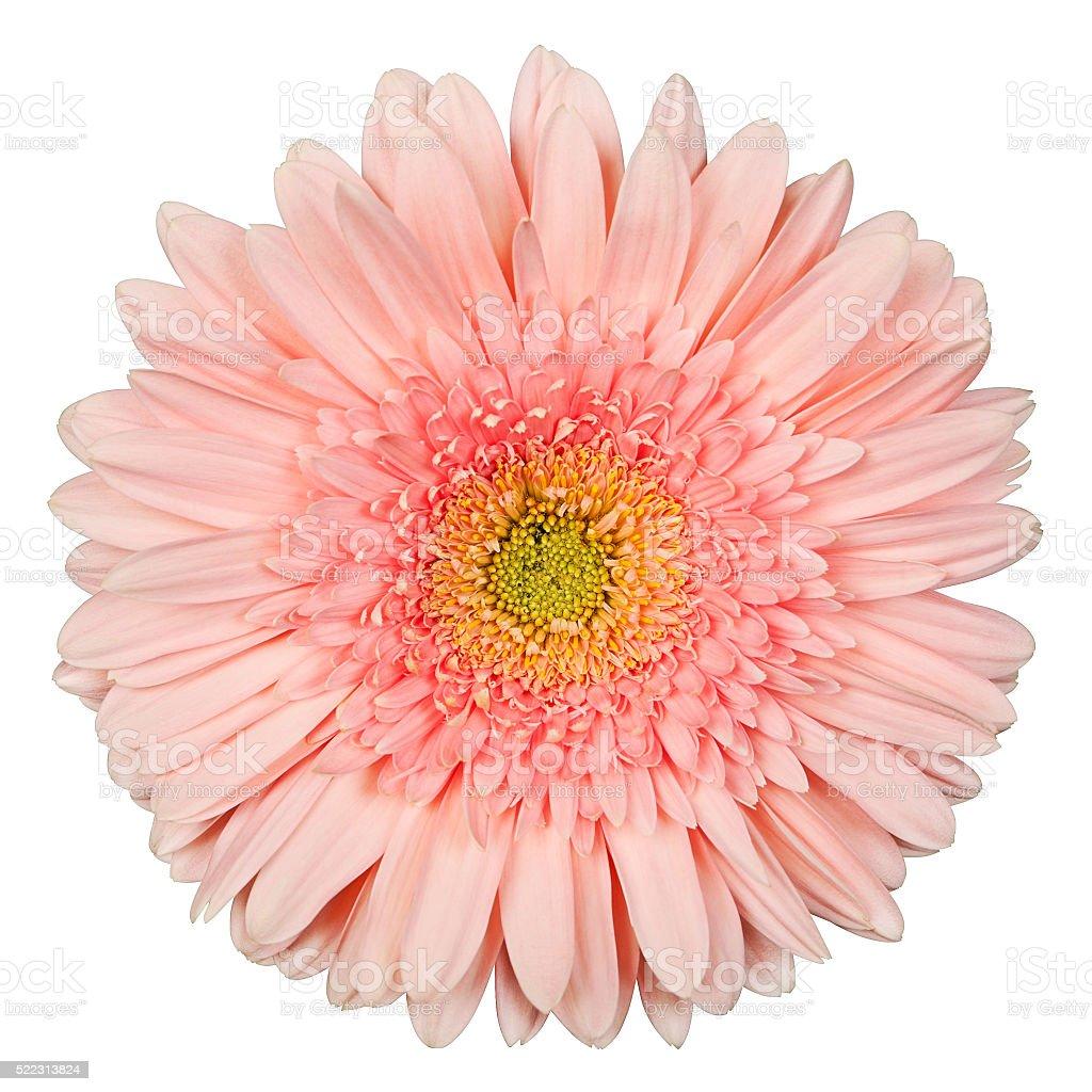 gerbera rosa Farbe auf einem weißen Hintergrund Lizenzfreies stock-foto