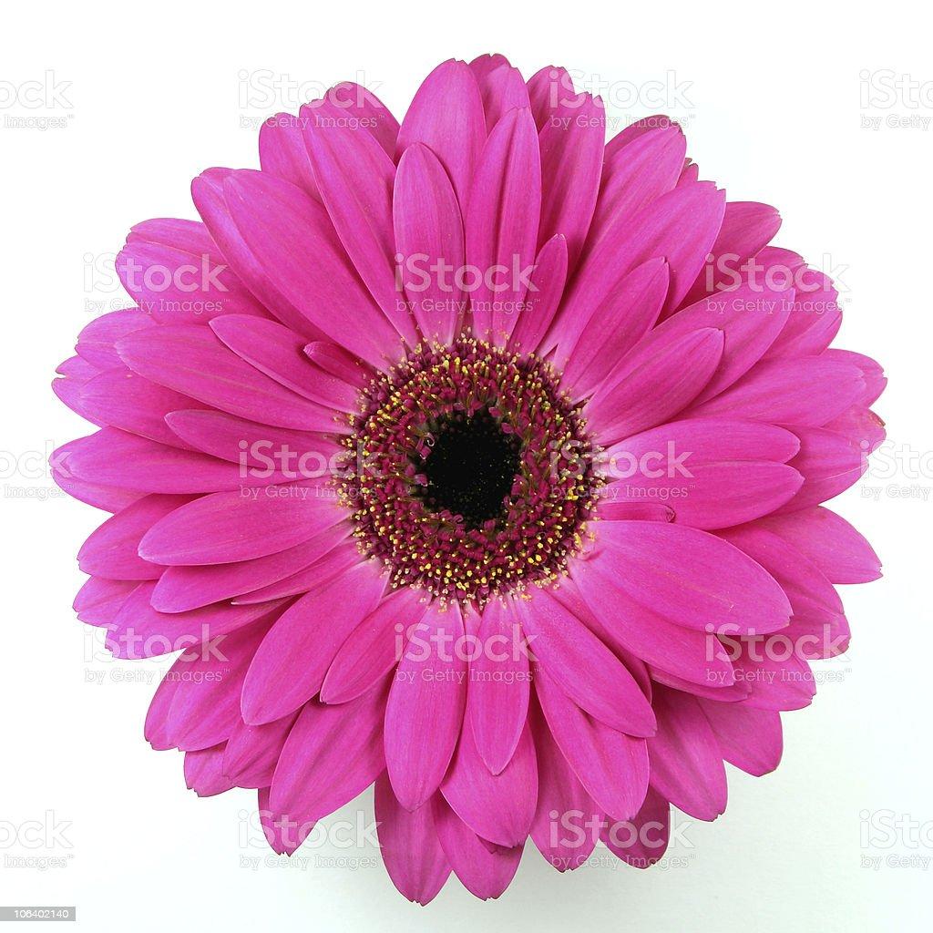 gerbera pink daisy stock photo