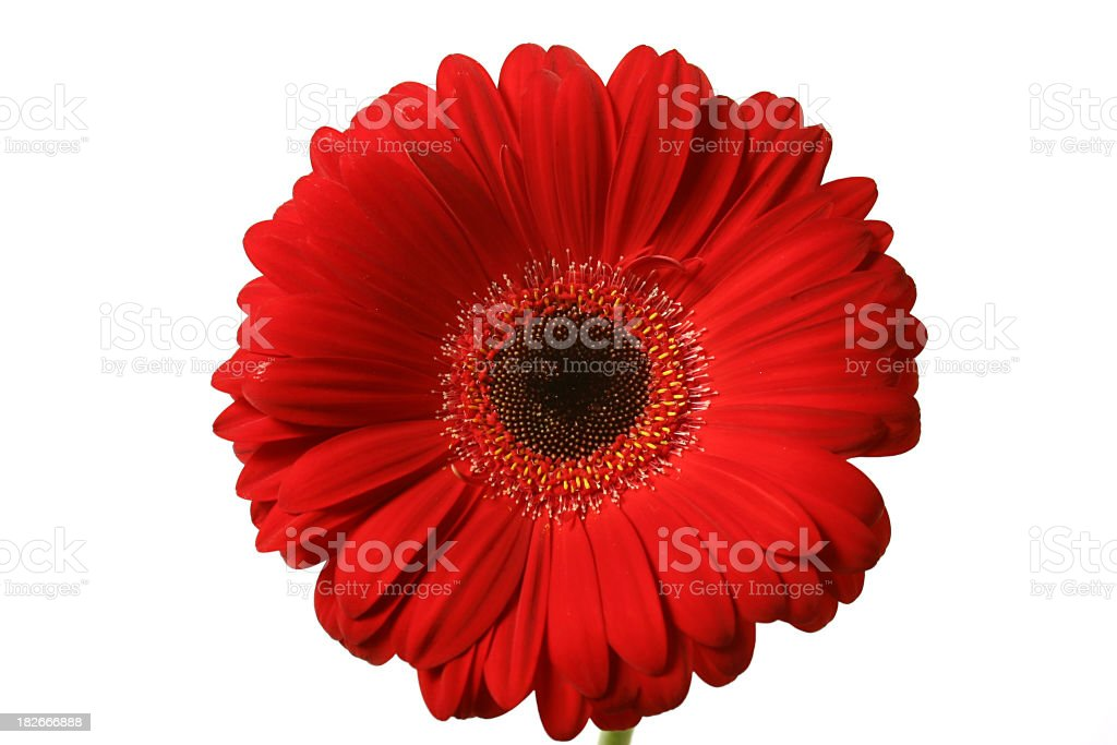 Gerbera - Red royalty-free stock photo