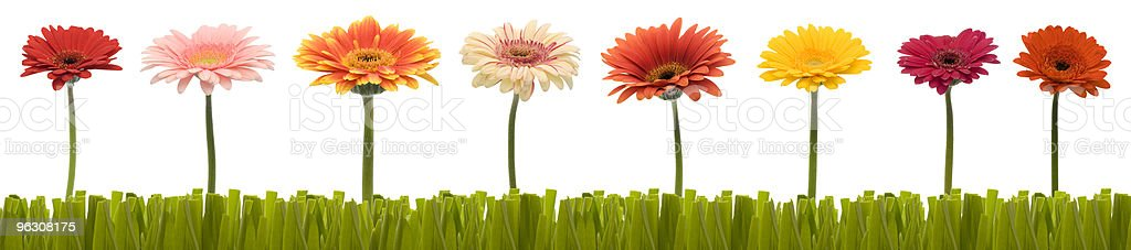 Gerberas in a row with cut grass royalty-free stock photo