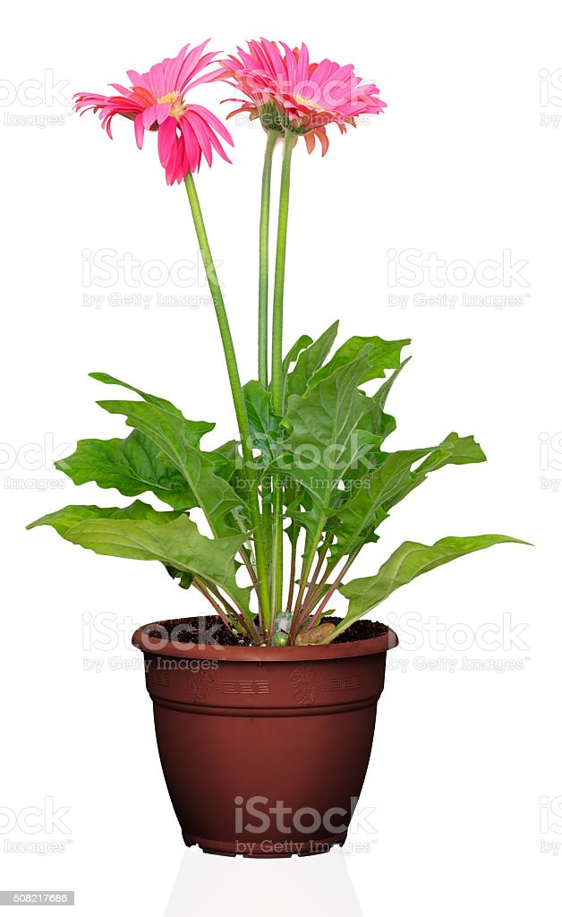 Gerber's flowers in a flowerpot stock photo