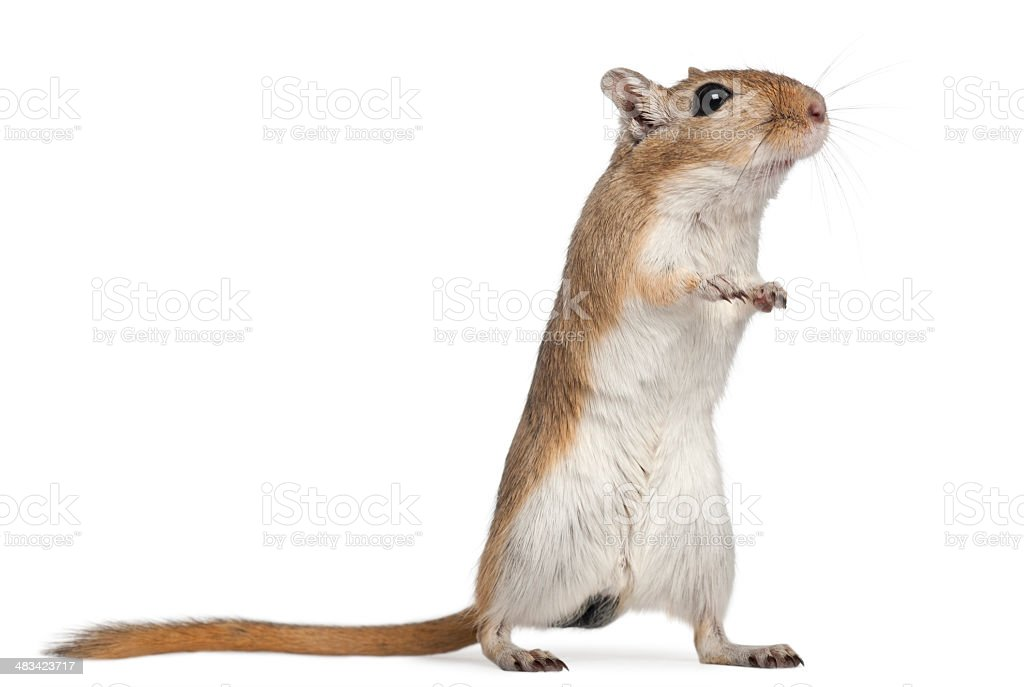 Gerbil, 2 months old, in front of white background stock photo