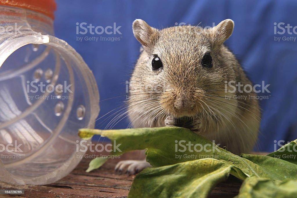gerbil eating stock photo