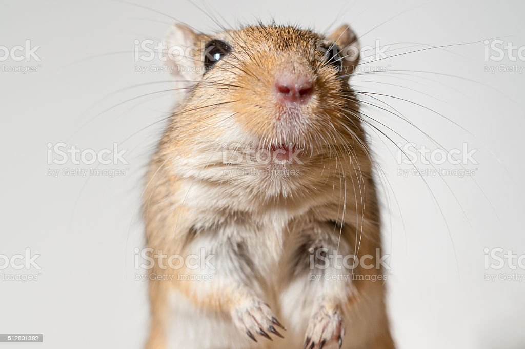 Gerbil in cage sitting and looking curious stock photo