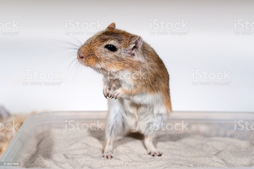 Gerbil in sandbath sitting and looking curious stock photo