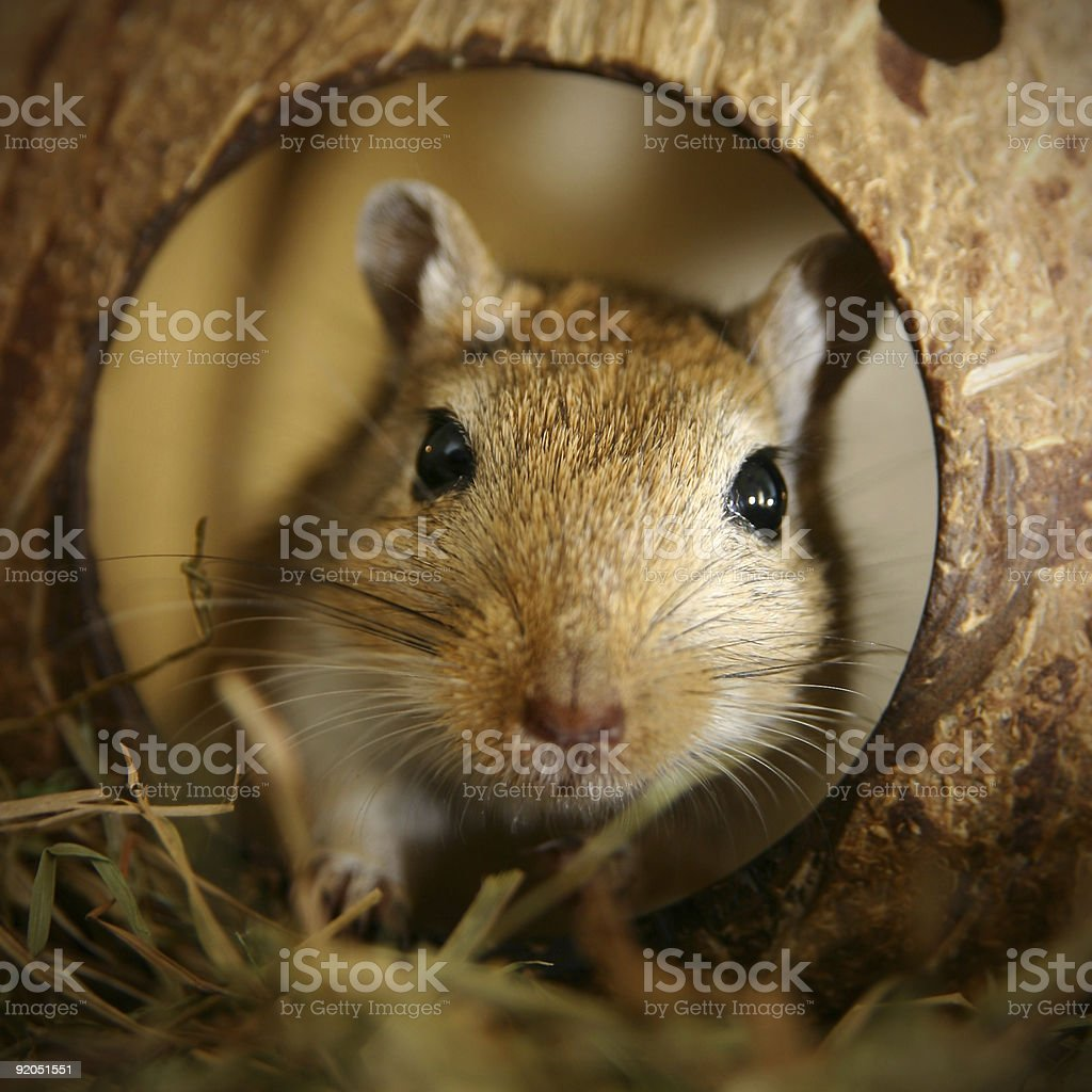 gerbil in the coconut stock photo