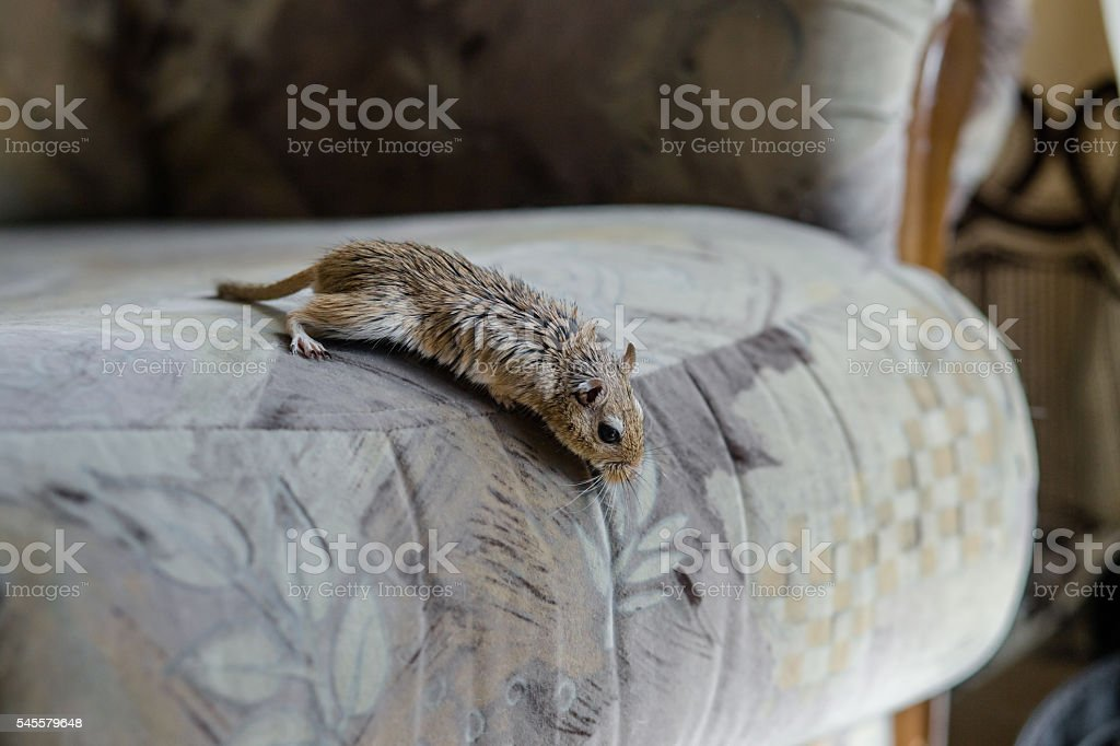 Gerbil mouse in the chair stock photo