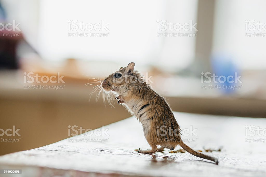Gerbil mouse standing on the kitchen table stock photo