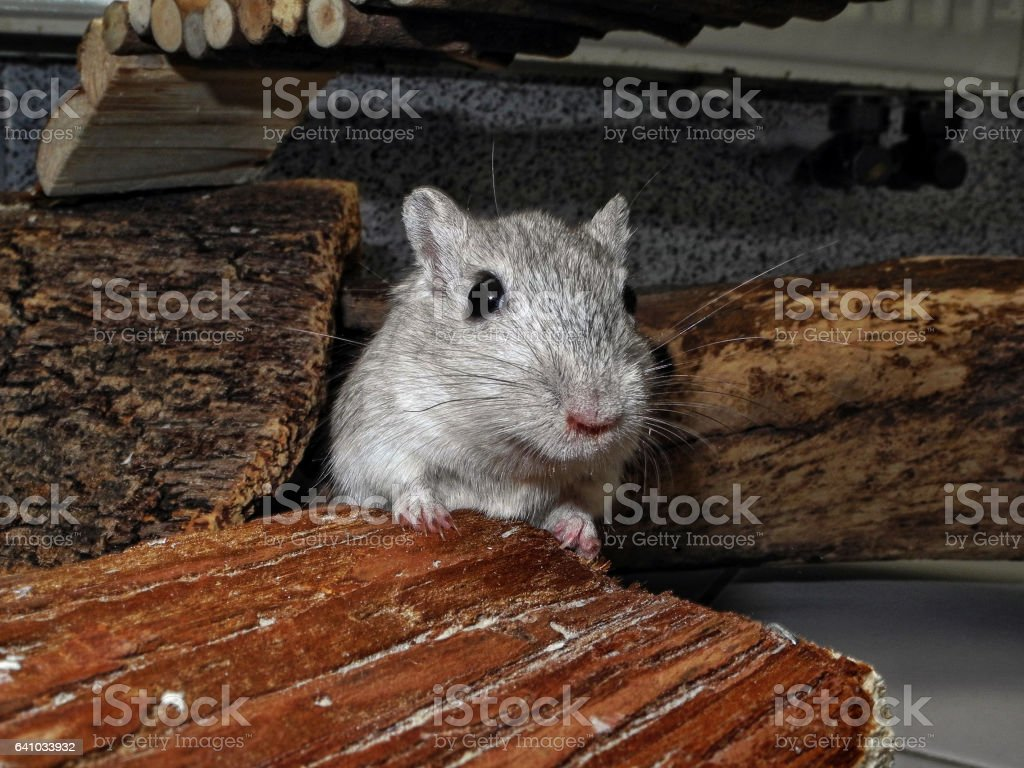 Gerbil on pet house stock photo