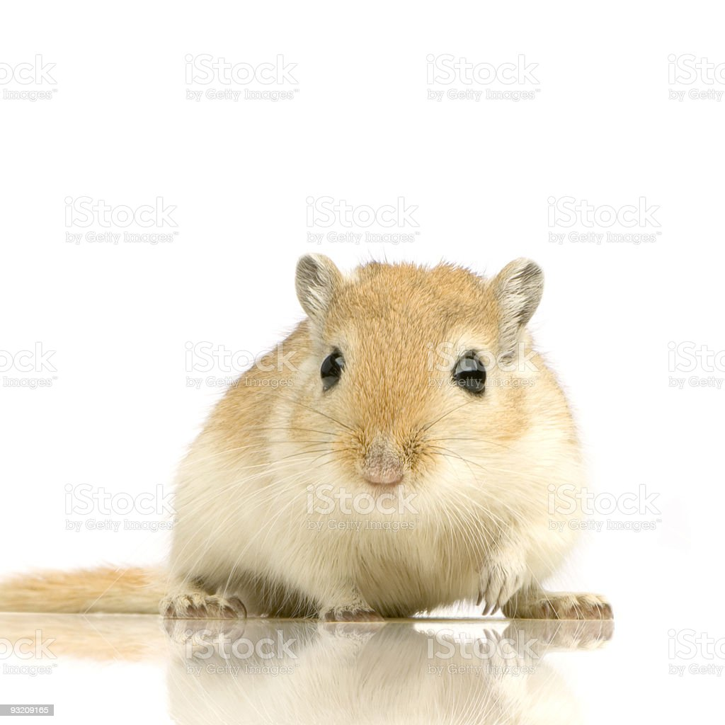 Gerbil royalty-free stock photo