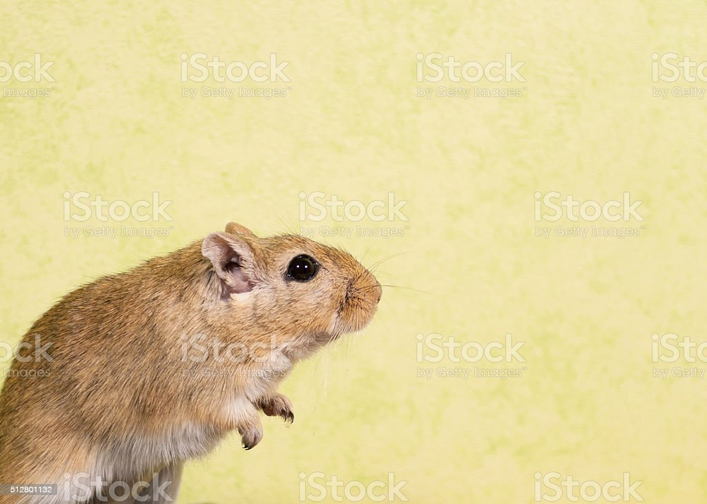 Gerbil sitting and looking curious stock photo