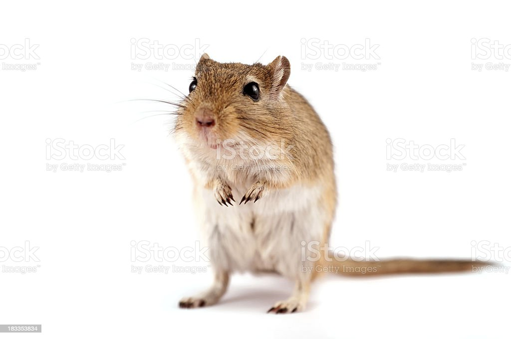 Gerbil standing on white. Strong shallow DOF stock photo