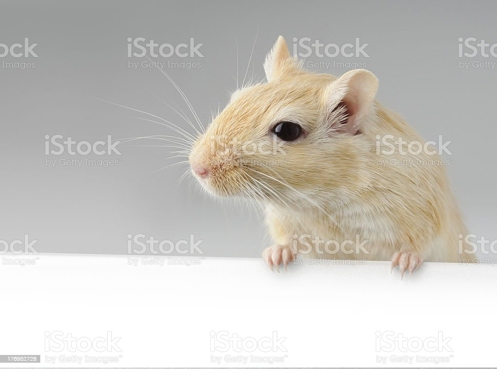 Gerbil with banner stock photo