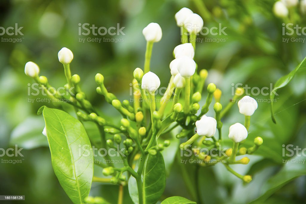 Gerdenia Crape Jasmine macro flower royalty-free stock photo