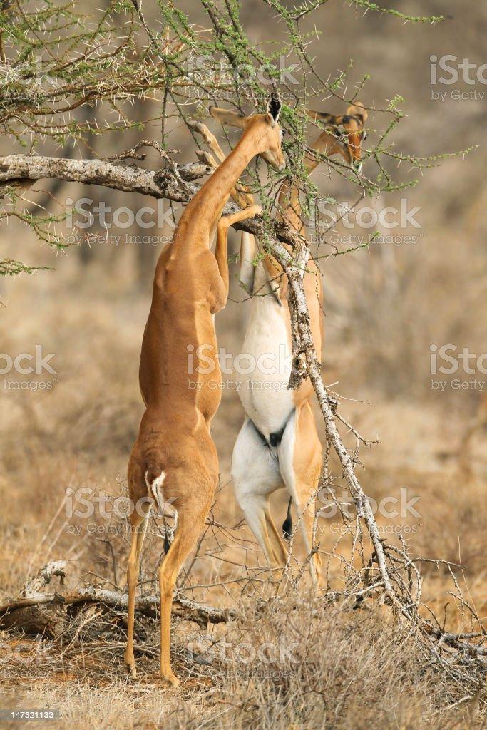 Gerenuk eating stock photo