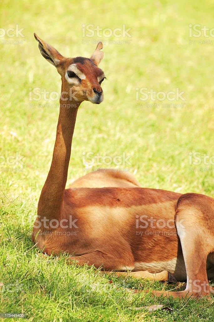 Gerenuk Gazelle Litocranius walleri stock photo