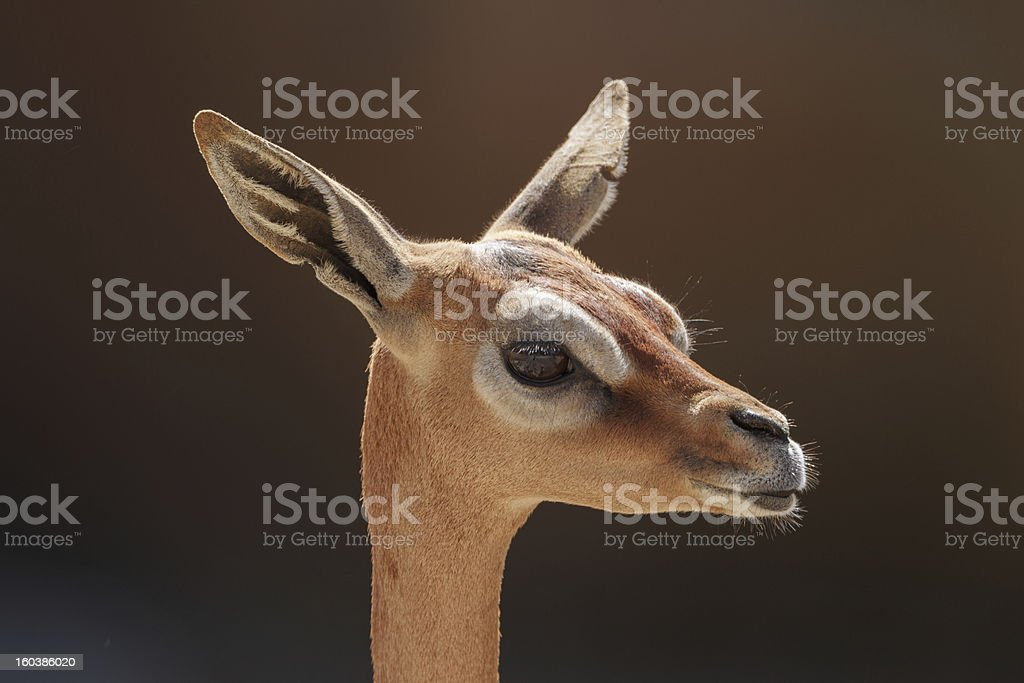 Gerenuk (East African Antelope) stock photo