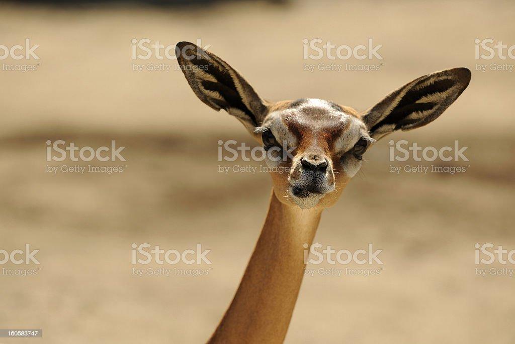 Gerenuk stock photo