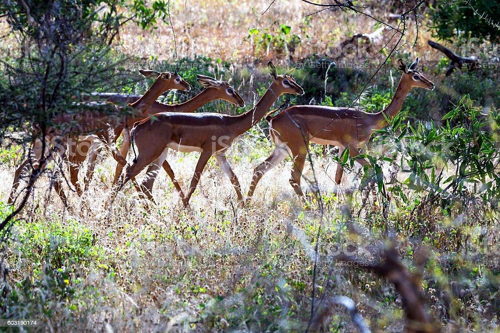 Gerenuk (giraffe antelope) (Litocranius walleri) stock photo