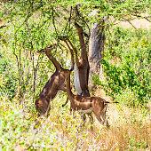 Gerenuk (giraffe antelope) (Litocranius walleri)
