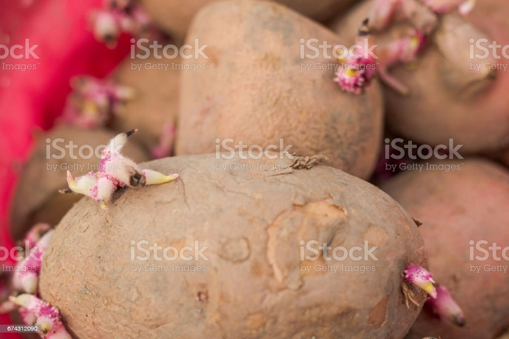 Germ of potatoes stock photo