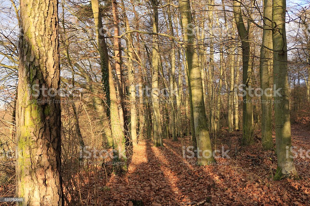 German Bavarian forest European trees trunk bark winter stock photo
