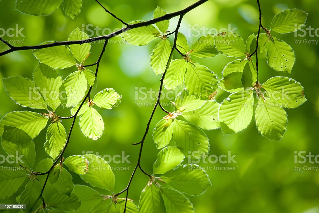 german beech tree royalty-free stock photo